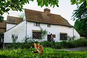Red fox (Vulpes vulpes) in suburban garden, watched by photographer Terry Whittaker in the doorway of house, Kent, UK, August, taken with camera trap Property released.  -  Terry Whittaker / 2020VISION