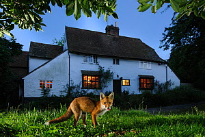 Red fox (Vulpes vulpes) eating pet food left out for it in suburban garden at twilight, Kent, UK, August, taken with camera trap. Did you know? Foxes first colonised British cities in the 1930-40s. Pr... - Terry  Whittaker / 2020VISION