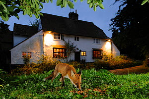 Red fox (Vulpes vulpes) eating pet food left out for it in a suburban garden, at twilight, Kent, UK, August, taken with camera trap Property released.  -  Terry Whittaker / 2020VISION