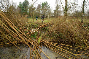 Staff and volunteers from The Wildwoood Trust improve water vole habitat on a stream in Kent by cutting trees to allow growth of bankside vegetation, East Malling, Kent, England, February 2011 - Terry Whittaker / 2020VISION