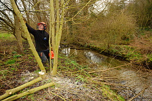 Volunteer from The Wildwoood Trust cutting trees to allow growth of bankside vegetation and to improve water vole habitat on a stream, East Malling, Kent England, February 2011 - Terry Whittaker / 2020VISION