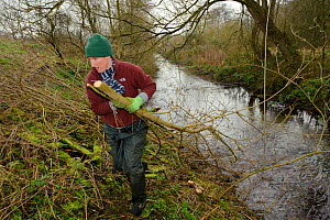 A volunteer from the Wildwood trust removes branches, as trees are cut down to improve water vole habitat on a stream and to allow growth of bankside vegetation, East Malling, Kent England, February 2...  -  Terry Whittaker / 2020VISION