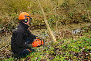 A volunteer from Wildwood trust cuts down tree to improve improve water vole habitat on a stream in Kent and to allow growth of bankside vegetation, East Malling, Kent England, February 2011  -  Terry Whittaker / 2020VISION