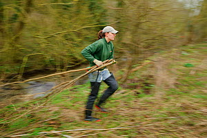 A member of staff from the Wildwoood Trust carries branches of trees cut down improve water vole habitat on a stream and to allow growth of bankside vegetation, East Malling, Kent England, February 20... - Terry Whittaker / 2020VISION