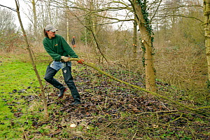 A member of staff from the Wildwoood Trust carries large branch of trees cut down improve water vole habitat on a stream and to allow growth of bankside vegetation, East Malling, Kent England, Februar... - Terry Whittaker / 2020VISION