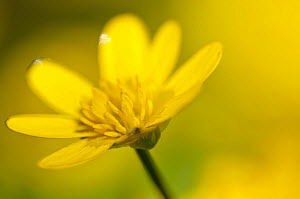 Lesser celandine (Ranunculus ficaria) in flower, Cornwall, England, UK, March. Did you know? William Wordsworth wrote three poems about Lesser celandines.  -  Ross Hoddinott / 2020VISION