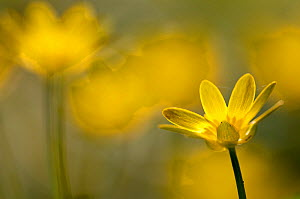 Lesser celandine (Ranunculus ficaria) in flower, Cornwall, England, UK, March.  -  Ross Hoddinott / 2020VISION