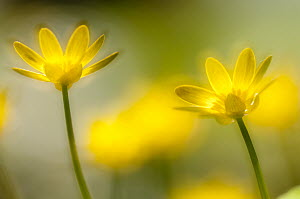 RF- Flowering Lesser celandine (Ranunculus ficaria), Cornwall, England, UK, March. (This image may be licensed either as rights managed or royalty free.)  -  Ross  Hoddinott / 2020VISION