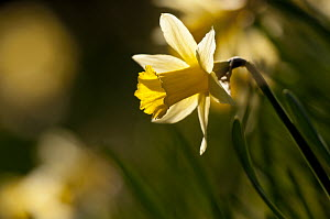 Small group of flowering Wild daffodils (Narcissus pseudonarcissus), with out of focus flowers in the background, Dunsdon Wood Devon Wildlife Trust Reserve, Dartmoor National Park, Devon, England, UK,...  -  Ross Hoddinott / 2020VISION