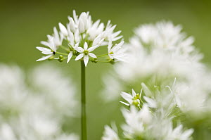 RF- Wild garlic / Ramsons (Allium ursinum) flowering in woodland, Cornwall, England, UK, May. (This image may be licensed either as rights managed or royalty free.) - Ross  Hoddinott / 2020VISION