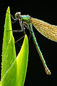 RF- Banded demoiselle (Calopteryx splendens), resting on dew covered reed, Lower Tamar Lakes, Cornwall/Devon border, UK. May. (This image may be licensed either as rights managed or royalty free.)  -  Ross  Hoddinott / 2020VISION