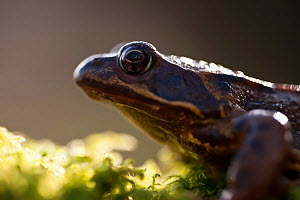 Common frog {Rana temporaria}, backlit portrait, Cornwall, UK. January 2012.  -  Ross Hoddinott / 2020VISION