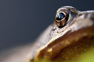 Common frog (Rana temporaria) portrait, close-up of eye, Cornwall, UK. January. Did you know? Female Common frogs can lay up to 2000 eggs.  -  Ross Hoddinott / 2020VISION