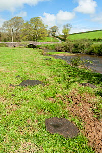 Poorly maintained river banks, eroded by cattle, muddy and the polluting water, with cow pats on the river bank, River Ottery, North Petherwin, Launceston, Cornwall, UK. April 2012.  -  Ross Hoddinott / 2020VISION