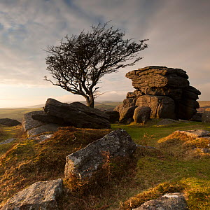 Hawthorn tree (Crataegus monogyna) and granite outcrop near Saddle Tor, Dartmoor National Park, Devon, England, UK, January 2011.  -  Ross Hoddinott / 2020VISION