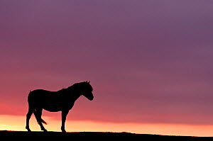 Silhouetted Dartmoor pony (Equus caballus) at sunrise, Combestone Tor, Dartmoor National Park, Devon, England, UK, January. Did you know? Pony footprints have been found on Dartmoor dating back 3500 y... - Ross Hoddinott / 2020VISION