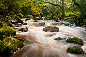 River Plym flowing fast through Dewerstone Wood, Shaugh Prior, Dartmoor National Park, Devon, England, UK, October 2011. Did you know? The name Plym comes from the Old English term for plum tree.  -  Ross Hoddinott / 2020VISION