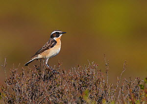 Male Whinchat (Saxicola rubetra) perched on heather, Denbighshire, Wales, UK, June  -  Richard Steel / 2020VISION