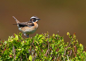 Male Whinchat (Saxicola rubetra) perched on Bilberry (Vaccinium myrtillus), Denbighshire, Wales, UK, June.  -  Richard Steel / 2020VISION