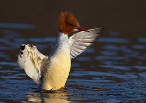 Female Goosander (Mergus merganser) drying feathers, Gwynedd, Wales, UK, January. - Richard Steel / 2020VISION