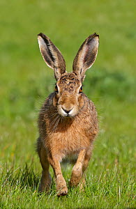 European hare (Lepus europaeus), Wirral, England, UK, May - Richard  Steel / 2020VISION