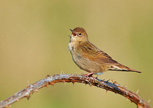Grasshopper warbler (Locustella naevia) singing, Wirral, England, UK, May 2012  -  Richard Steel / 2020VISION
