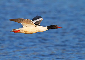 Male Goosander (Mergus merganser) flying over water, Gwynedd, Wales, UK, February. - Richard Steel / 2020VISION