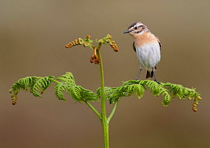 Female whinchat (Saxicola rubetra) perched on bracken frond, Denbighshire, Wales, UK, June. - Richard Steel / 2020VISION