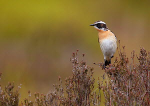 Male Whinchat (Saxicola rubetra) perched on heather, Denbighshire, Wales, UK, June.  -  Richard Steel / 2020VISION