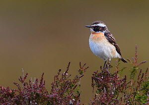 Male Whinchat (Saxicola rubetra) perched on moorland heather, Denbighshire, Wales, UK, June.  -  Richard Steel / 2020VISION
