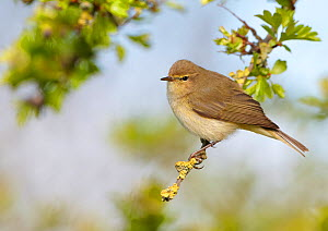 Chiffchaff (Phylloscopus collybita) perched on Hawthorn (Crataegus) twig, Cheshire, April.  -  Richard Steel / 2020VISION