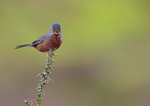 Dartford warbler (Sylvia undata) perched on gorse bush singing, Denbighshire, Wales, UK, May.  -  Richard Steel / 2020VISION