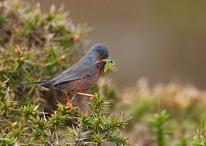 Dartford warbler (Sylvia undata) perched on gorse bush with caterpillar prey, Denbighshire, Wales, UK, May.  -  Richard Steel / 2020VISION