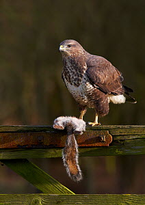 Common buzzard (Buteo buteo) perched on a gate with Grey squirrel (Sciurus carolinensis) prey, Cheshire, England, UK, December.  -  Richard Steel / 2020VISION
