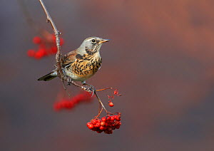 Fieldfare (Turdus pilaris) perched on branch of a Rowan tree (Sorbus aucuparia), with berries, Clwyd, Wales, UK, November. Did you know? The Rowan tree's old Celtic name was 'fid na ndruad' which mean...  -  Richard Steel / 2020VISION