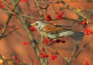 Fieldfare (Turdus pilaris) perched on branch of a Rowan tree (Sorbus aucuparia), with berries, Clwyd, Wales, UK, November. Did you know? Fieldfares have an unusual way of defending their nests - by bo...  -  Richard Steel / 2020VISION