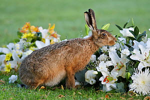 European hare (Lepus europaeus), smelling flowers in a graveyard, Landican Cemetery, Wirral, England, UK, August.  -  Richard Steel / 2020VISION