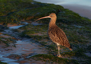Curlew (Numenius arquata) on beach, Wirral, England, UK, December. - Richard Steel / 2020VISION
