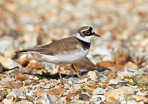 Male Little ringed plover (Charadrius dubius) on the edge of a freshwater gravel pit, Hampshire, England, UK, April.  -  Richard Steel / 2020VISION