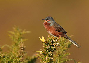 Dartford warbler (Sylvia undata) perched on gorse, singing, Hampshire, England, UK, April.  -  Richard Steel / 2020VISION