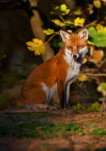 Red fox (Vulpes vulpes) sitting in deciduous woodland, Lancashire, England, UK, November.  -  Richard Steel / 2020VISION