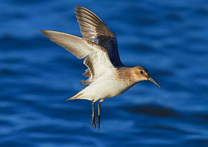 Dunlin (Calidris alpina) flying over sea, Wirral, England, UK, January.  -  Richard Steel / 2020VISION