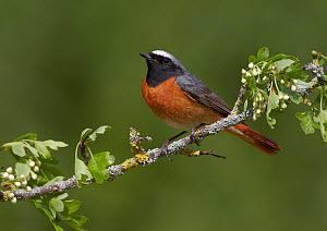 Male Redstart (Phoenicurus phoenicurus), perched on branch of flowering Hawthorn (Crataegus monogyna), Clwyd, Wales, UK, May. Did you know? Another common name for a Redstart is Firetail due to their...  -  Richard Steel / 2020VISION