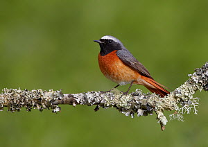 Male Redstart (Phoenicurus phoenicurus) perched on branch, Clwyd, Wales, UK, May.  -  Richard Steel / 2020VISION