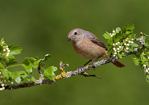 Female Redstart (Phoenicurus phoenicurus), perched on branch of flowering Hawthorn (Crataegus monogyna), Clwyd, Wales, UK, May.  -  Richard Steel / 2020VISION