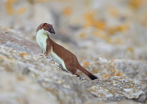 Stoat (Mustela erminea) climbing on boulders, Conwy, Wales, UK, June.  -  Richard Steel / 2020VISION
