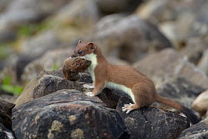Stoat (Mustela erminea) with Bank vole (Myodes glareolus) prey, Conwy, Wales, UK, June.  -  Richard Steel / 2020VISION