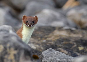 Stoat (Mustela erminea), looking out from behind a rock, Conwy, Wales, UK, June.  -  Richard Steel / 2020VISION