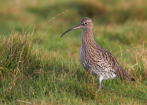 Curlew (Numenius arquata) in meadow, Wirral, England, UK, November.  -  Richard Steel / 2020VISION