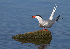 Common tern (Sterna hirundo) perched on a rock, calling, Merseyside, England, UK, July.  -  Richard Steel / 2020VISION
